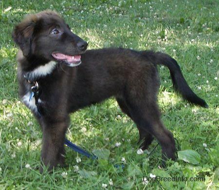border collie lab mix puppies | Border Collie / Labrador Retriever Hybrid Dogs