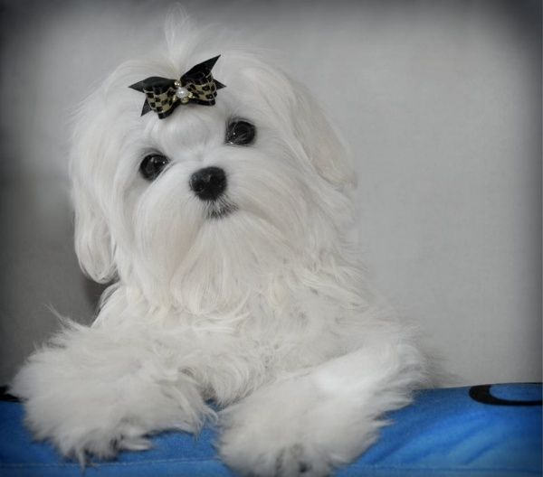 Joker Silver Brook Maltese Maltese Dogs Teacup Puppies