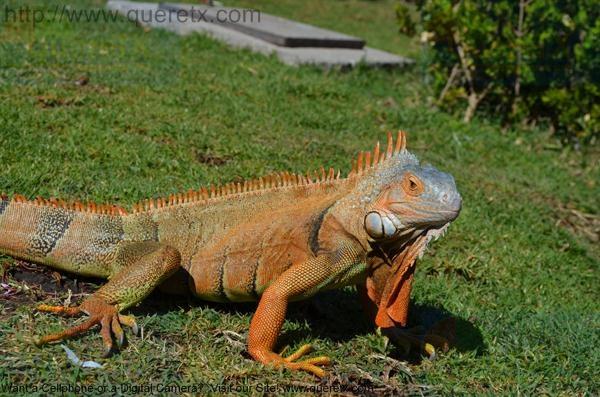 The same iguana in San Juan Del Rio