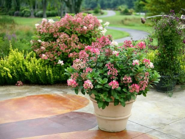 Hardy, dwarf 'Little Quick Fire' is a bigleaf hydrangea for zones 3 to 9. It grows 36 to 60 inches in height and thrives in part sun to sun. Use this easy-to-grow shrub in larger containers.