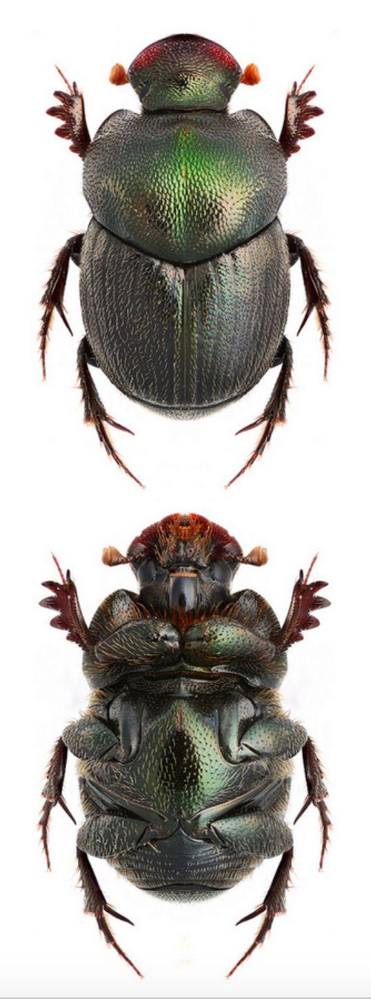 Onthophagus anguicorius