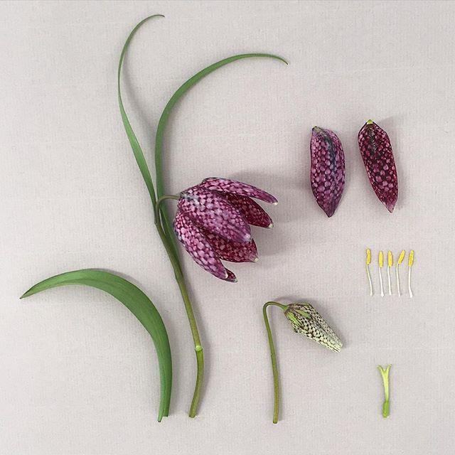 F R I T A L L A R I A . meleagris flowering parts deconstructed #snakesheadfritillary #snakeshead #botanicaleconstruction #botancalstudy #robbiehoney