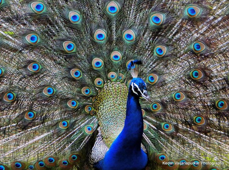 peacock+pictures | Indian National Bird, Peacock. | Sony DSC HX1 Photography