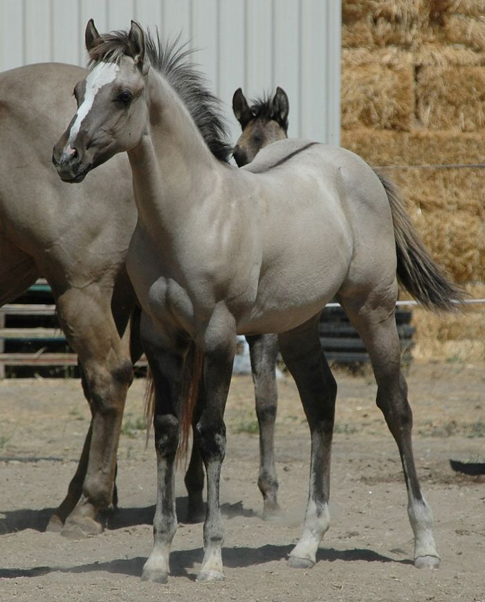 Grulla foal,love the color