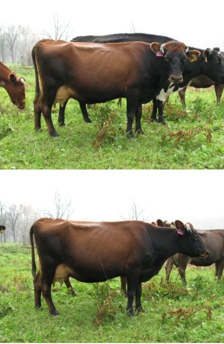 Well, I was planning on putting these pictures up earlier, but the cows were sold literally within three days of having them pregnancy check...