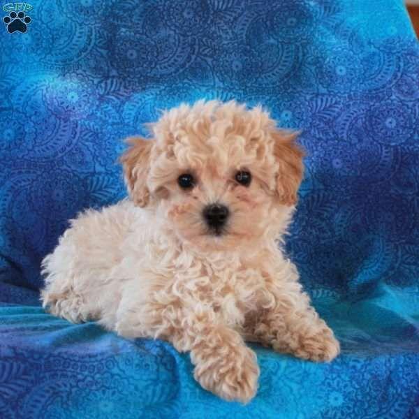Fern Bich Poo Puppy For Sale In Pennsylvania Bichon Frise Puppy Puppies Puppies For Sale
