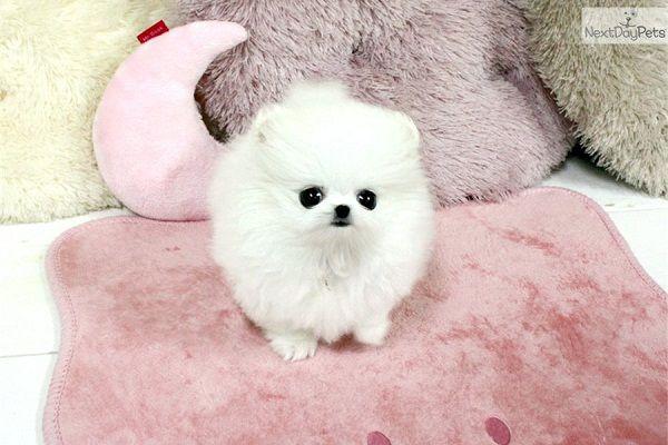 cute white pomeranian puppy | Zoe Fans Blog