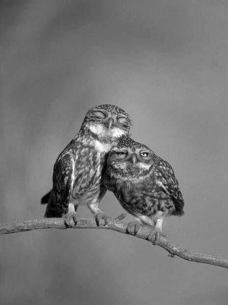 owl nuzzles