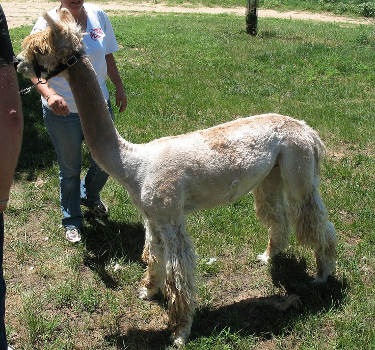 Proven Male Suri Alpaca For Sale  $1900.00 OBO. SMT TYSON (DOB: 8/15/2006; ARI #30520424) is a beautiful, slick fleeced WHITE proven male Suri Alpaca with great lineage. Good conformation and great bite, this sweet guy is one of a kind!!! Tyson's fleece has a uniform lock structure with very dense fleece. Tyson will make a fine addition to any breeding programs line-up.Breeds Programs, Sweets Guys, Fine Addition, Suri Alpacas, Proven Male, Male Suri, Dense Fleece, Tyson, Locks Structures