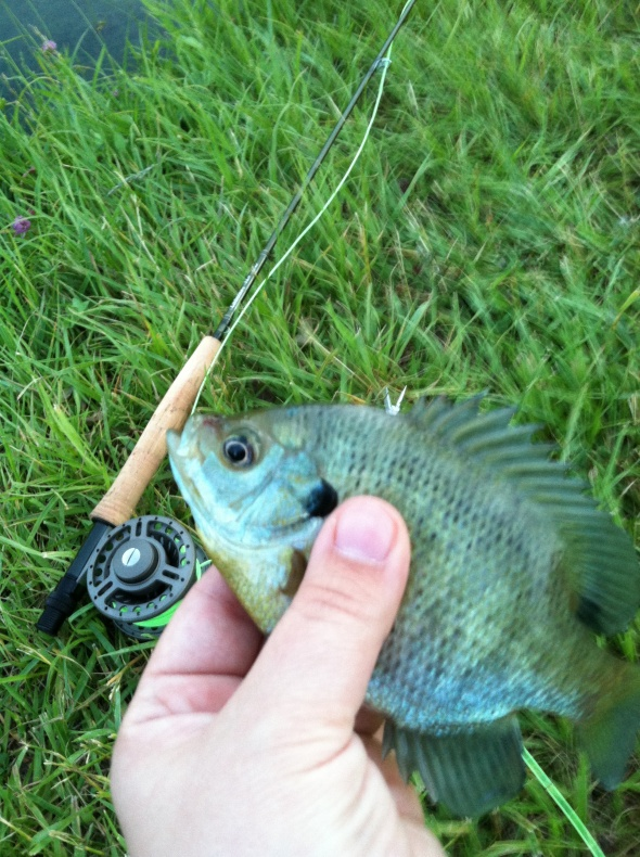 Blue gill haven fishing fun and blue for Fly fishing for bluegill