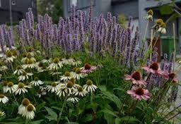 Fler solhattar, här med lila koreansk anisisop. Fin kombo. Lättodlade, torktåliga och bra för bin och humlor!
