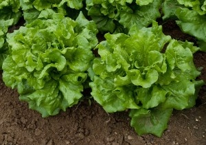 Picking Lettuce Heads: How To Harvest Lettuce