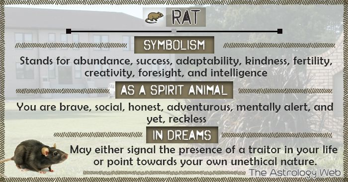 What Does a rat Symbolize, as a spirit animal, dream meaning