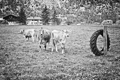 bwstock.photography - photo | free download black and white photos  //  #cows
