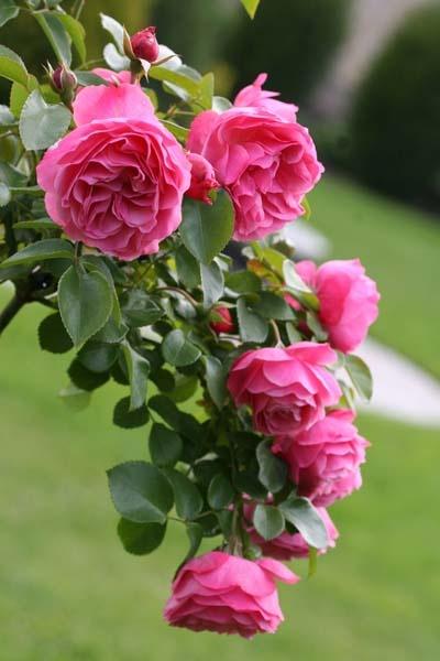 Leonard de Vinci est un buisson de 1,20 m. au feuillage brillant. Les grosses fleurs groupées, de forme ancienne, en coupe, sont rose bengale et restent belles vraiment très longtemps. La floraison dure jusqu'à la fin de l'automne, pour peu qu'on enlève les fleurs fanées régulièrement. La résistance aux maladies n'est pas toujours aussi exceptionnelle qu'on le dit et la fleur n'a pas de parfum... dommage ! Se bouture facilement. Hybride moderne. Meilland, 1994.