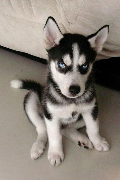 Blue Eyed Alaskan Husky, Give me the toy. Or die.