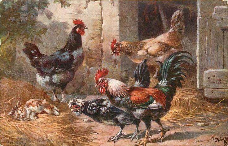 three hens & rooster encounter sleeping cat
