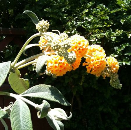 The Honeycomb Buddleia plant produces deep yellow flowers with distinct orange centers that are sure to attract numerous hummingbirds to the area.