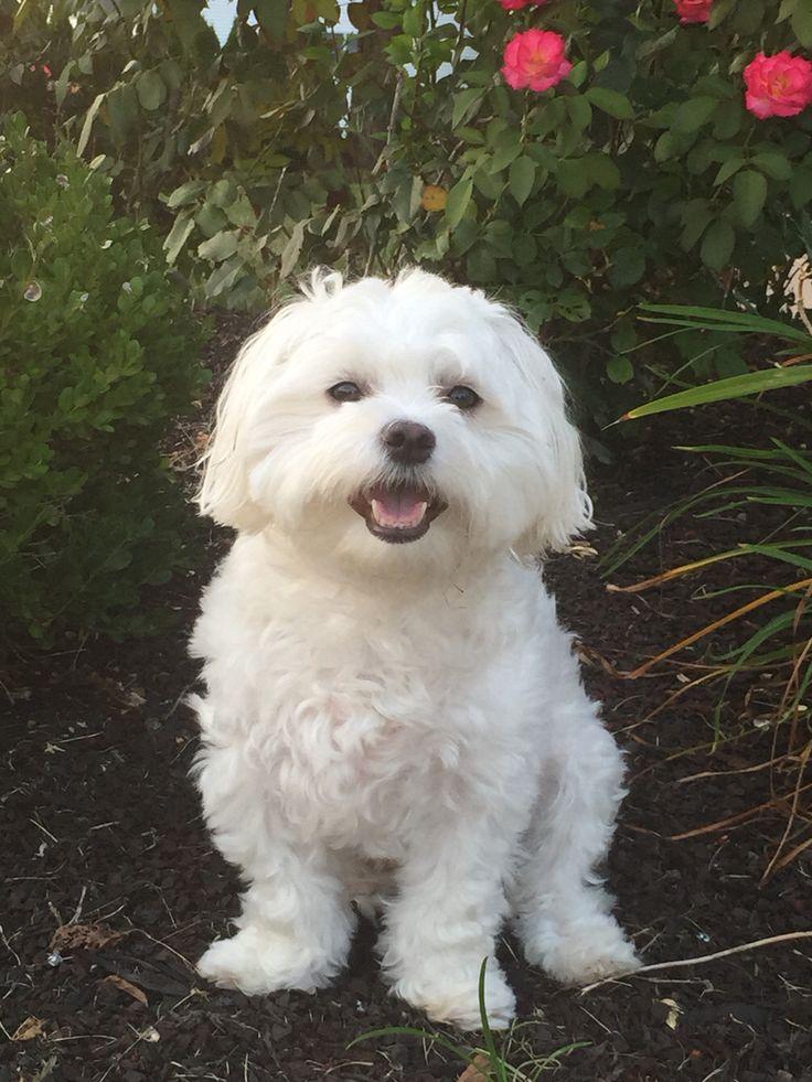 Bentley Maltese Dog Puppy Love                                                                                                                                                                                 More
