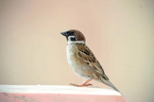 Digiscoped on my porch . Eurasian tree sparrow.