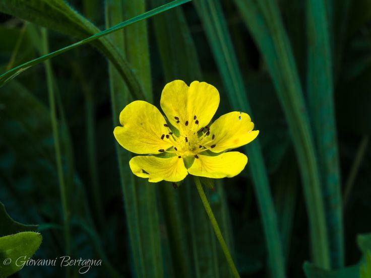 Potentilla aurea  #potentilla #aurea #flowers