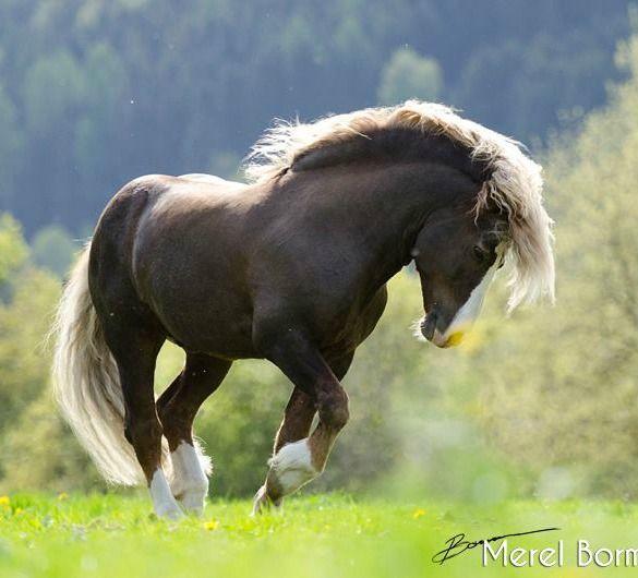 Schwarzwalder Fuchs stallion (Black Forest Horse) by Merel Bormans