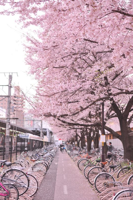 駅前の桜並木 Sakura, Japan - I want to go!