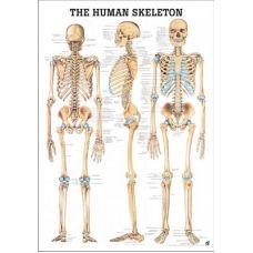 Plansa Anatomica Sistemul Osos 70 x 100 cm