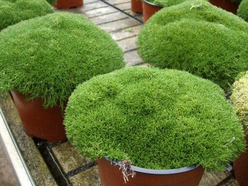 Oltre 25 fantastiche idee su piante tappezzanti su for Piante tappezzanti