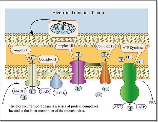 Electron Transport Chain | by mitopencourseware