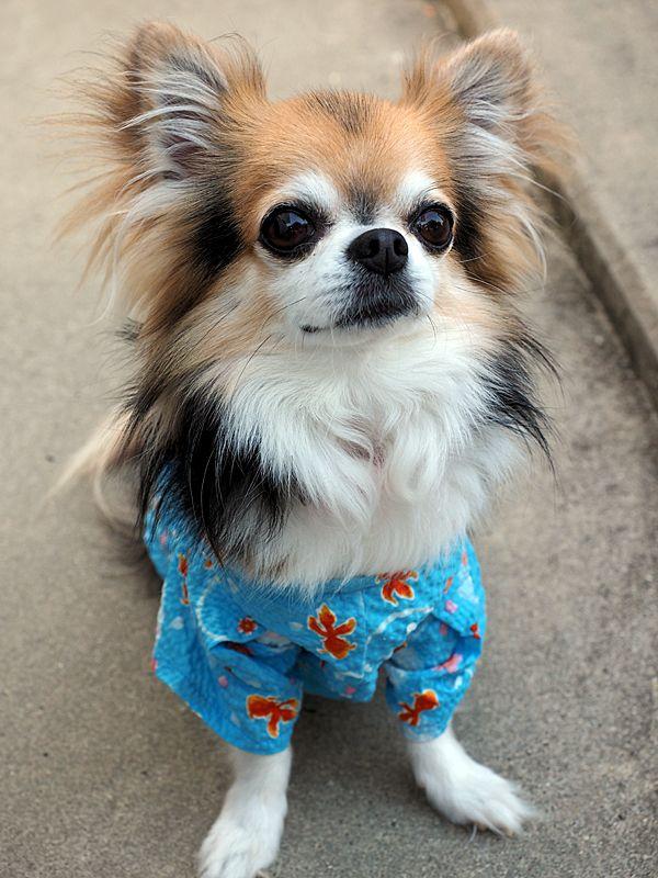 チワワえんの園長 ここじいです チワワ 可愛い犬 可愛すぎる動物