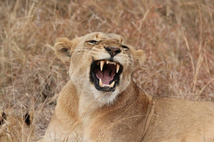 Lion - open wide! Namibia