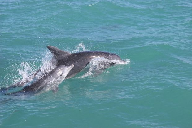 10 Fun Facts about the Marine Big 5 | Grootbos #MarineBig5 #dolphins http://www.grootbos.com/en/blog/marine-life/10-fun-facts-about-the-marine-big-5