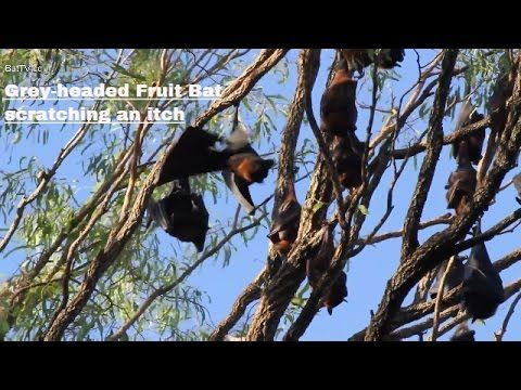 four Bat videos you might like to view at this link http://www.batsrule.info/2016/12/battv-australian-megabats-flying-foxes.html #batsrule #megabat #flyingfox #fruitbat