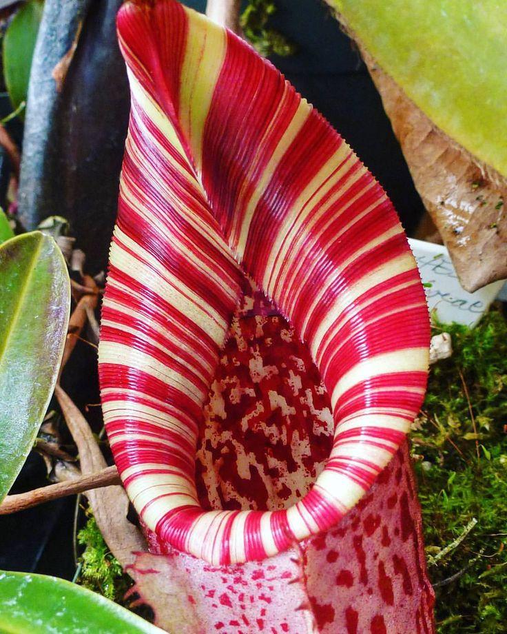 #nepenthes #tropicalpitcherplant #pitcherplants #carnivoroustagram…                                                                                                                                                                                 Mais