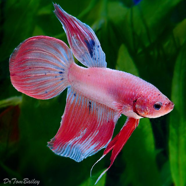 267 best images about betta fish on pinterest betta fish for Betta fish feeder