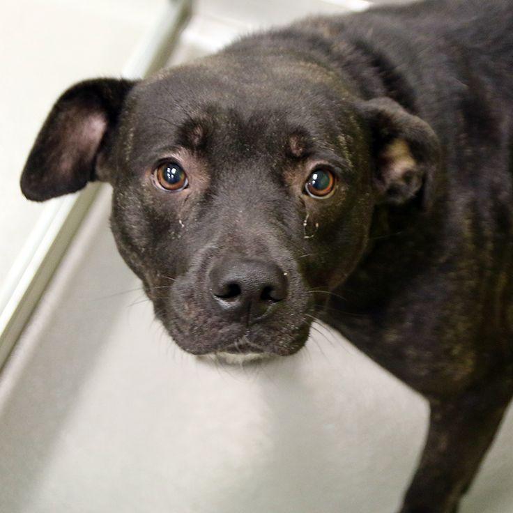 Gretta SPCA of Texas (Dallas) Dog adoption, Dogs