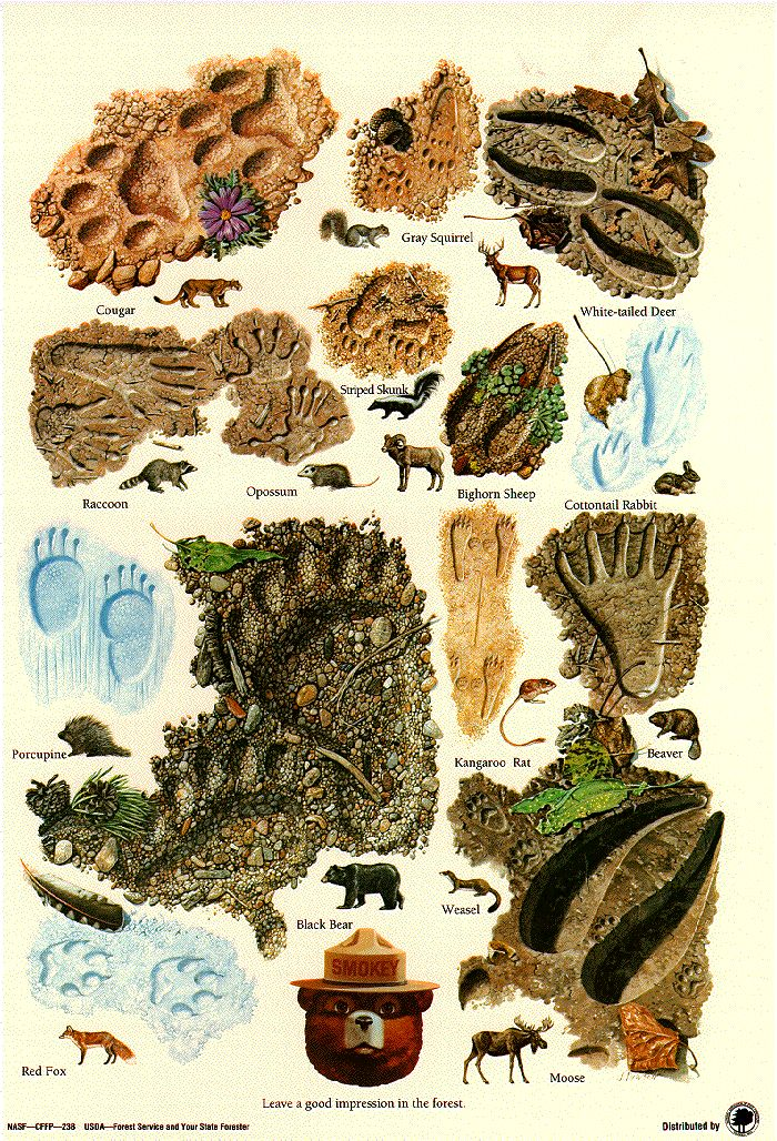 Animal Tracks poster from the U.S. Forestry Service. Animal activities, #homeschool, Apologia Zoology Land Animals