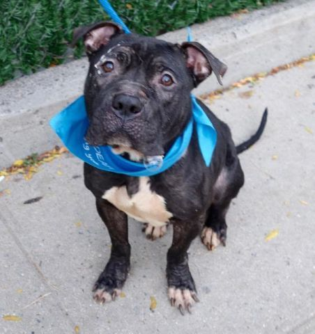"COQUI - A1095739 - - Manhattan  Please Share:TO BE DESTROYED 12/01/16 A volunteer writes: Frisco seems like a shy guy in his kennel. I show him the leash. He looks at me like asking: "" Are you talking to me ? Do you want me, really me?"" Yes, I see nobody else sharing your den…. ""OK, then. I am coming with you…"". FrIsco is leashed in no time. Wow…Frisco..You are in need of TLC, big time… You are so thin and your coat has seen b"