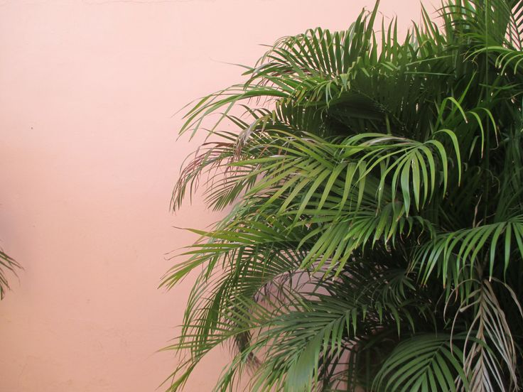 entracing palm tree type house plant. Pink wall and palm trees 112 best pink images on Pinterest  Wallpapers Cactus Palm