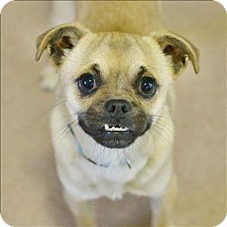 Santa Rosa, CA - Pug/Chihuahua Mix. Meet Monkey, a dog for adoption. http://www.adoptapet.com/pet/15014818-santa-rosa-california-pug-mix