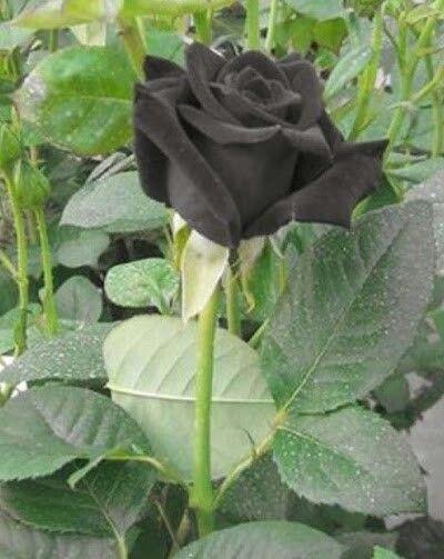 black roses - halfeti | TURKEY - 35.2KB