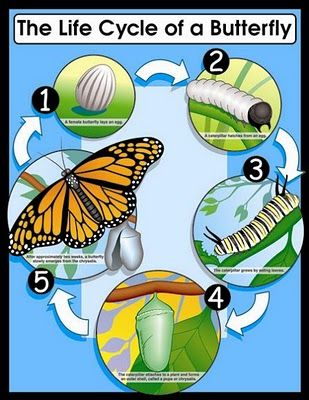 Life cycle of a butterfly - Such a neat idea.