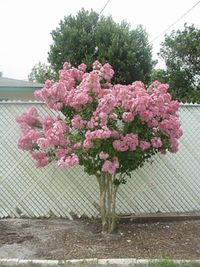 crepe myrtle (pink)....comes in other colors too but this is beautiful!!  this could go in the bed close to the house on the left to cover some of the wall between the windows.