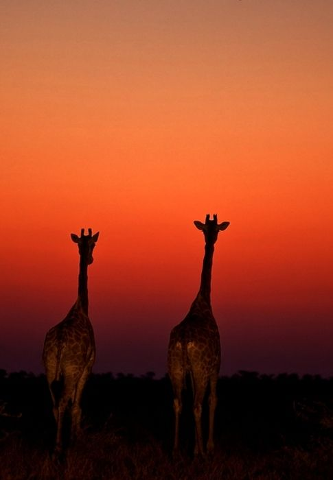 .: Funny Animals, Amazing Giraffes, Beautiful Giraffe, Sunset Giraffes, Beautiful Animals, African Sunset, Amazing Animals, Beautiful Things