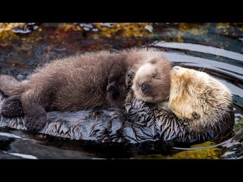 Watching This Baby Otter Cuddle Its Mama Will Give You All ...