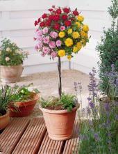 Mini-rosier tricolore sur tige