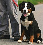 Bernese Mountain Dogs: What's Good About 'Em? What's Bad About 'Em?