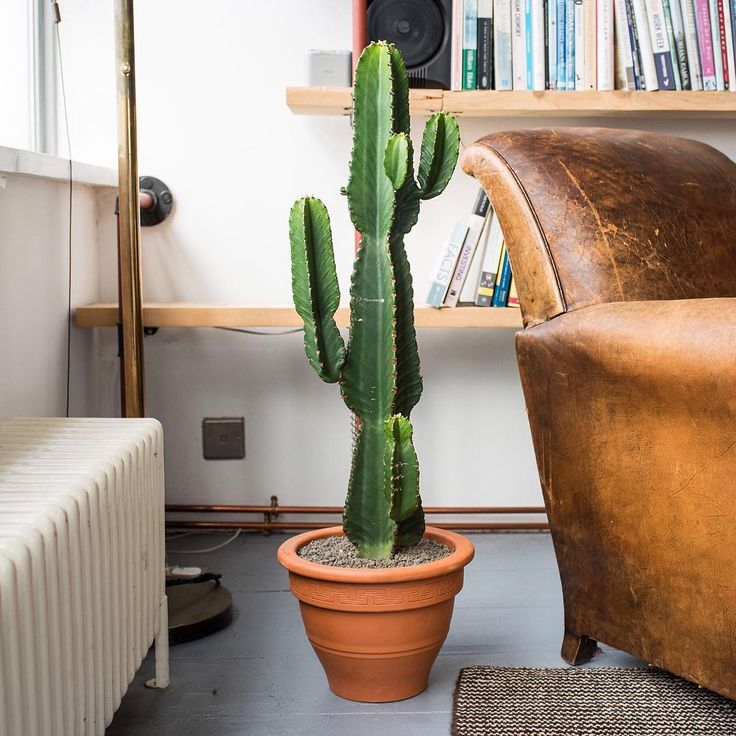 "Add some structure to your living area with this tall cactus! This ""Candelabra tree"" that we like to call Ian is typically found in drought areas but he can still thrive in your London home if you place him by a window in bright direct sunlight ☀️"