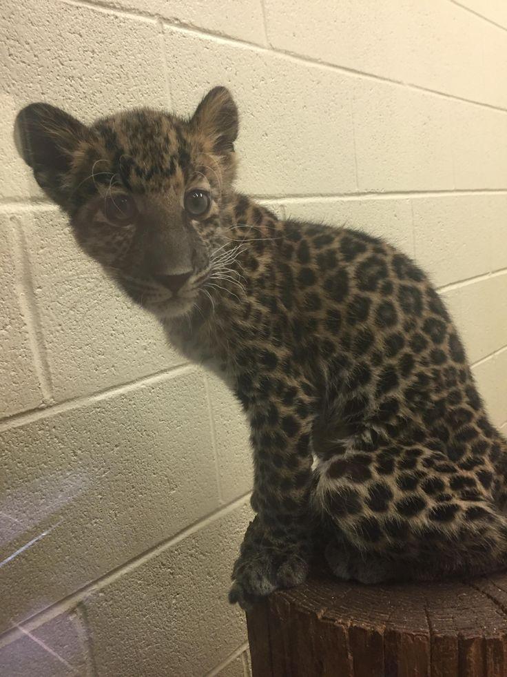 Baby Cheetah at my local zoo! http://ift.tt/2iKkRqb